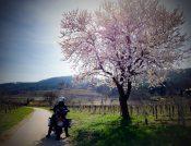 Am Weg zum Harzberg - Weingärten bei Baden