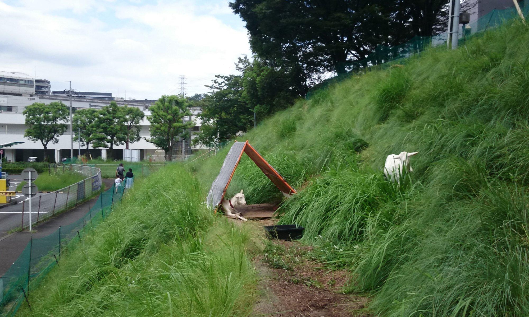 草刈りさせられるヤギ