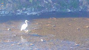 大栗川のシラサギ