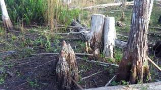 Natural and manmade stumps
