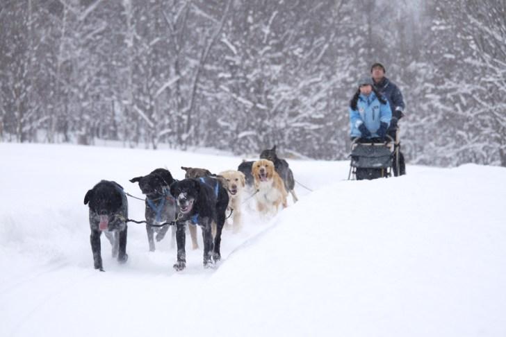 雪原を犬ぞりで疾走!