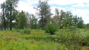 Trees, shrubs, grass and cattails in a river valley