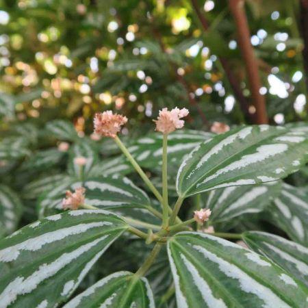 Aluminum plant, Pilea cadieri
