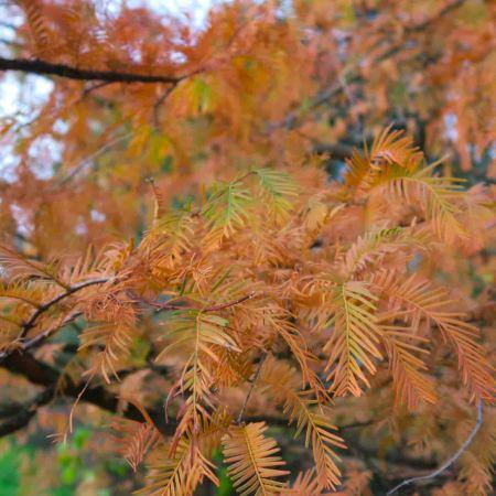Fall colour at Kew Gardens in London, the Dawn Redwood, Metasequoia glyptostroboides