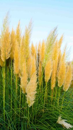 Kew Gardens in London: the Pampas grass in full flower