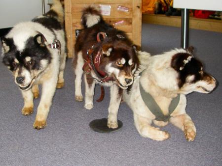 Sled dogs at the Australian Antarctic Division, Kingston, Tasmania   Jill Browne