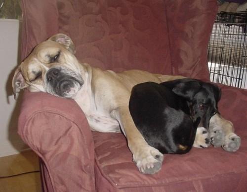 boxer-y-dachshund-durmiendo