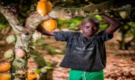 عمالة الاطفال مزارع الكاكاو