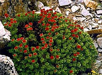 Rhodiola Rosea - herbal remedy for acute mountain sickness