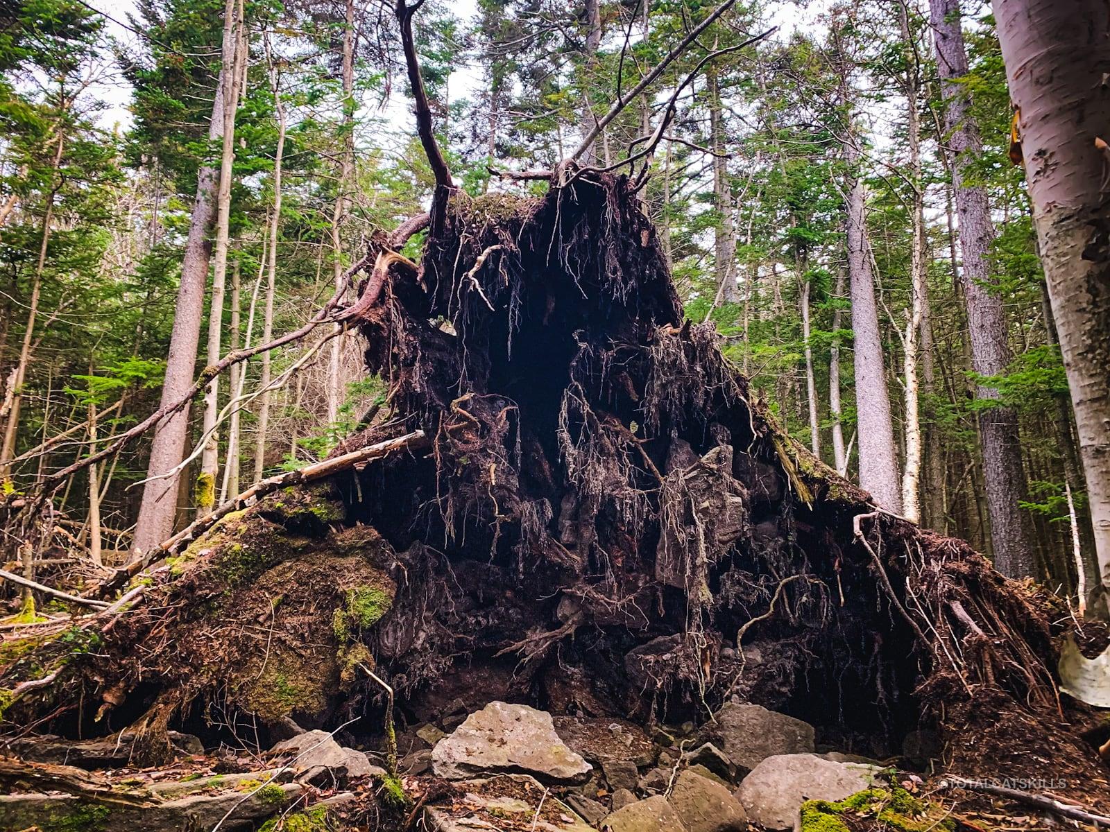 underside of blowdown tree