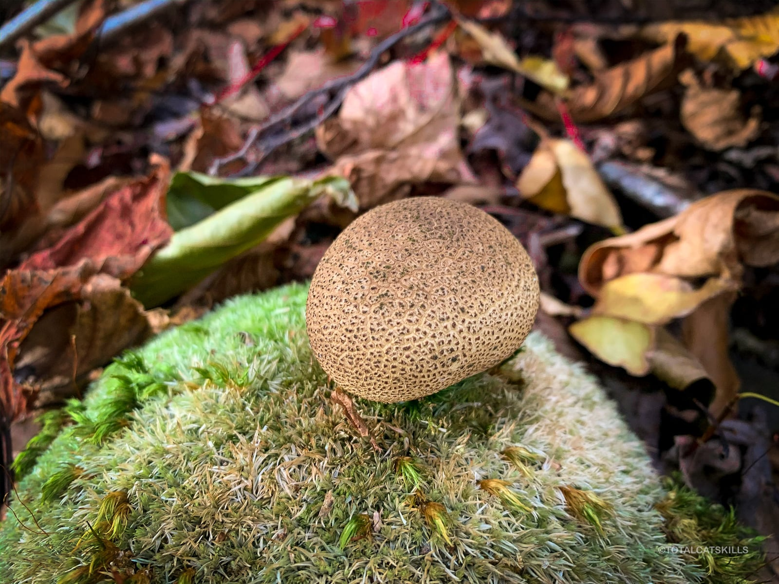 puffball sitting on rock