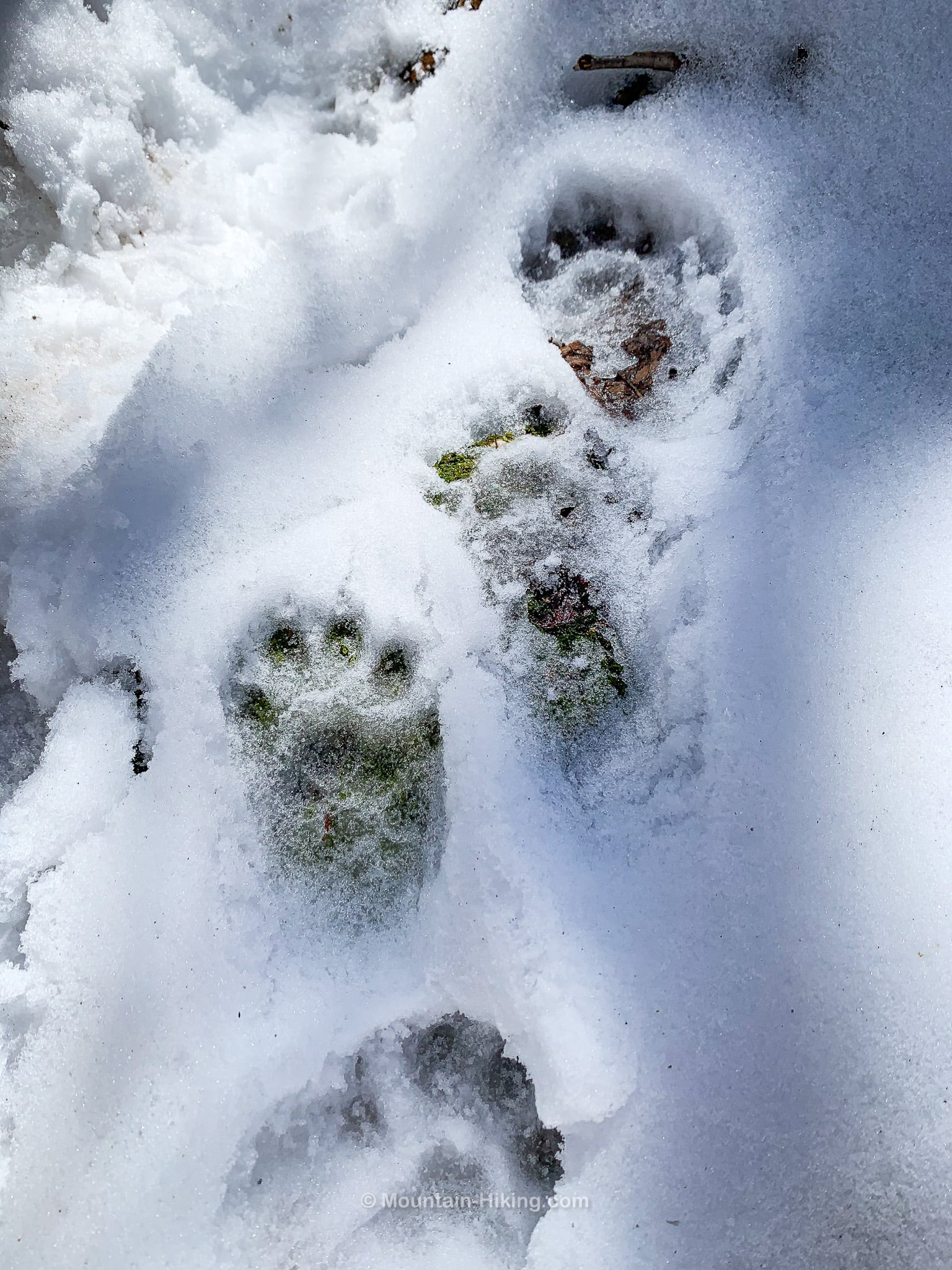 small bear prints in snow