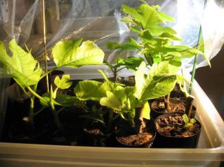 fig-tree-cuttings-9