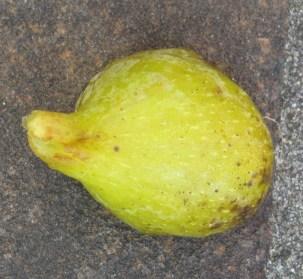 Filacciano breba (5) (1024x943)