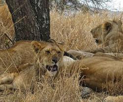 lion-pride