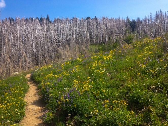 Mt Hood Wildflowers