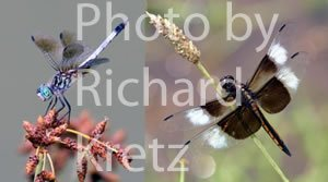 Blue Dasher and Widow Skimmer Dragonflies
