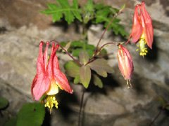 Native Red Columbine along the Cliff Trail. Look up to catch these spring beauties.