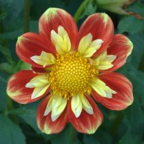 Dahlia 'Pooh'_HudsonGardens-CO_LAH_6143