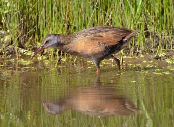 Virginia Rail_ManitouLake-CO_LAH_1457