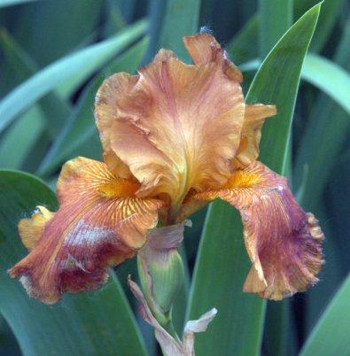 Iris germanica_HAS-CoSpgsCO_LAH_0243