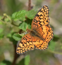1 Variegated Fritillary Butterfly_EmeraldValley-EPC-CO_LAH_1151