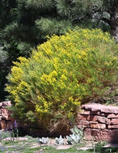 Cytisus purgans 'Spanish Gold'_Broom_XG-COS-CO_LAH_8738