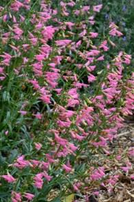 Penstemon barbatus 'Elfin Pink'_HASDemoGarden-COS-CO_LAH_9447