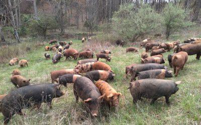 Hog Hike