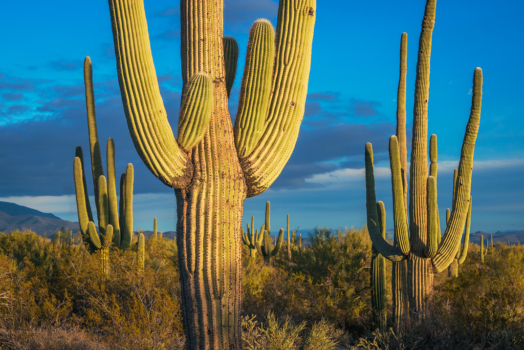 giant saguaro cactus arizona