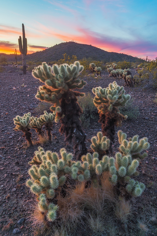teddy bear cholla jumping cactus
