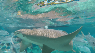 Nurse Sharks that we swam with and got to pet