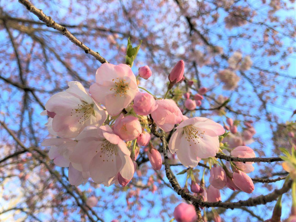 Cherry tree at Mount Auburn