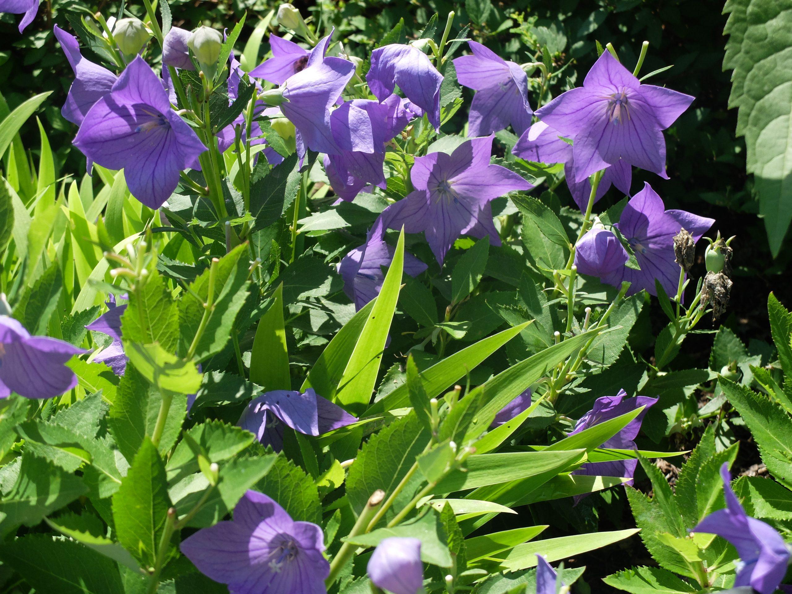 Purple flowers of Platycodon grandifloras