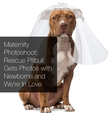 rescue_pitbull_gets_maternity_photoshoot