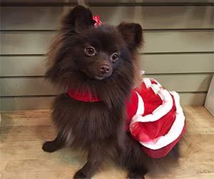 Meena Bean the Pomeranian, Linda Hanf - East cooper Pets