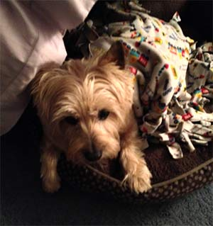 Mick the Cairn Terrier, Pat Riley - East Cooper Pets