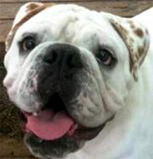 Wilson the English Bulldog, Teresa Eichman - East Cooper Pets