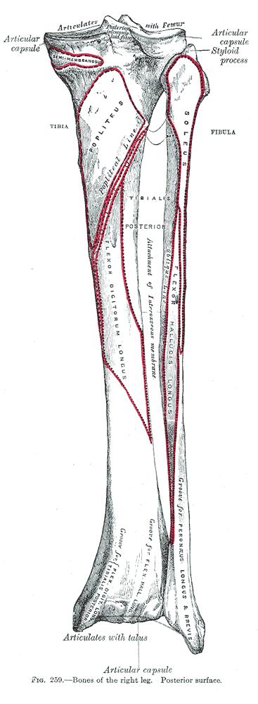 fibulaposterior