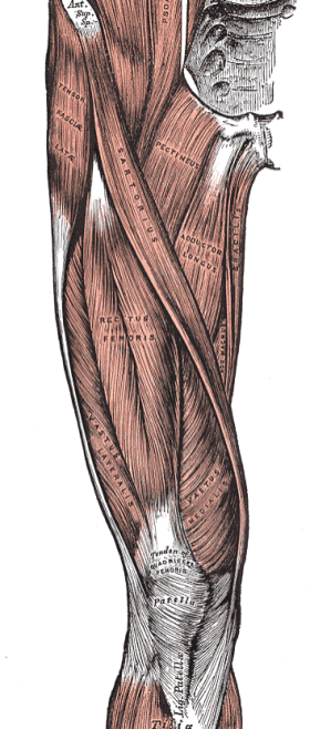 anteriorthigh