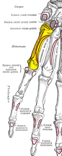 Gray219_-_Fifth_metacarpal_bone
