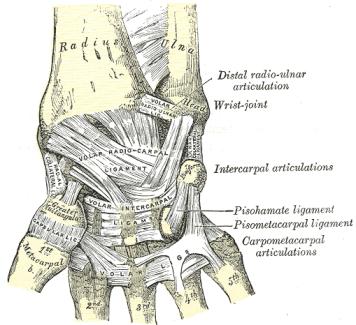 ligamentsthumb