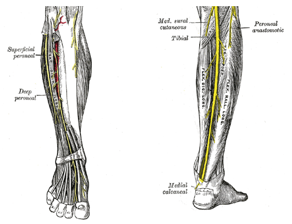 lowerlegnerves