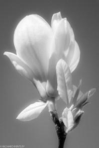 wpid-blossom__InfraRed_23_April_2013.jpg