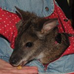 A wallaby in a carrier sling worn by a Cincinnati Zoo attendant