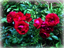 Andy's Roses