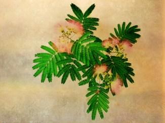 Mimosa Light