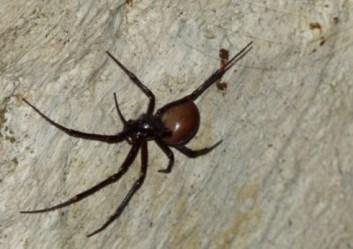 orb weaver spider Meta bourneti
