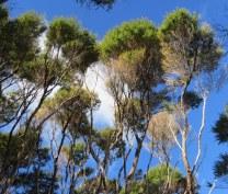 Brush-like manuka trees, Coromandel peninsula