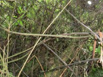 Supplejack (kareao) forms thick impenetrable vines in forest